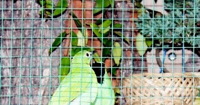 Rajajangkrik 4 Info Terbaru 2020 Cara Ternak Burung Cucak Hijau Untuk Pemula