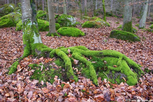 Racines moussues de hêtre sur rocher, Gorges d'Apremont, (C) 2015 Greg Clouzeau