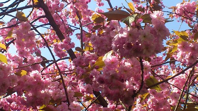 Kwitnące drzewa na Żoliborzu:)
