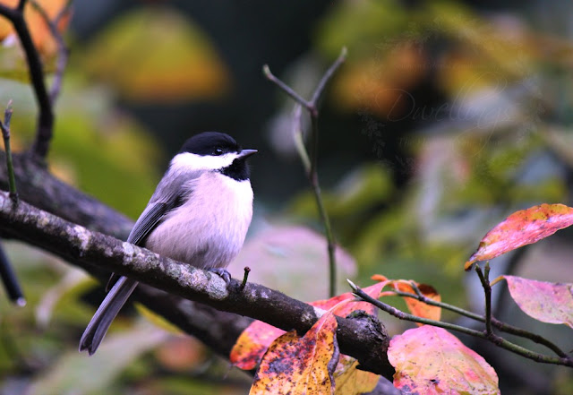 Chickadee perched on the dogwood tree patiently waiting for a turn to visit the bird feeder.