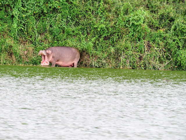 Roaring hippo on the Kazinga Channel in Uganda