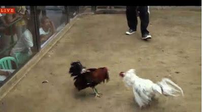 Cara Taruhan Sambung Ayam Live