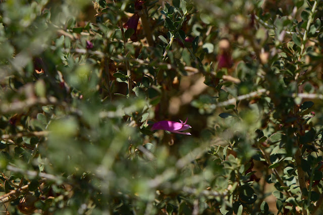 small sunny garden, tuesday view, desert garden, amy myers, eremophila