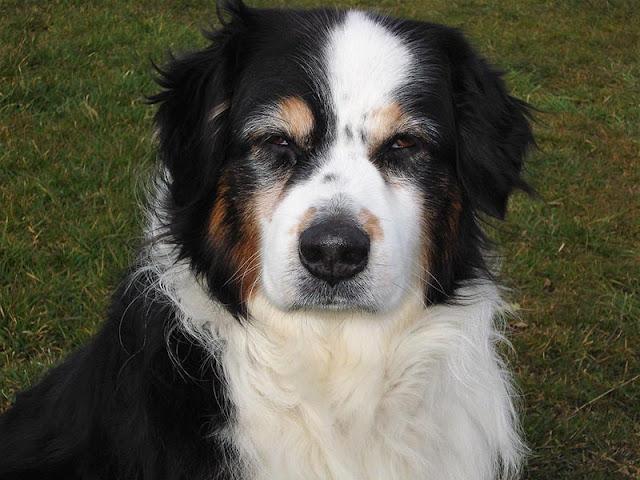 Uno de cada cinco perros mayores tiene síntomas como los del alzheimer