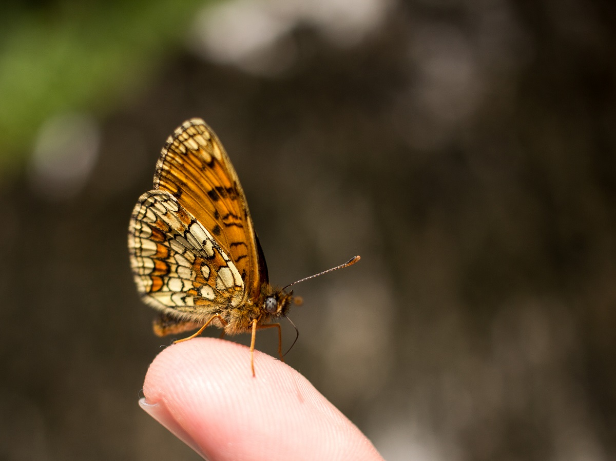 Makro Fotografie Schmetterling Perlmuttfalter