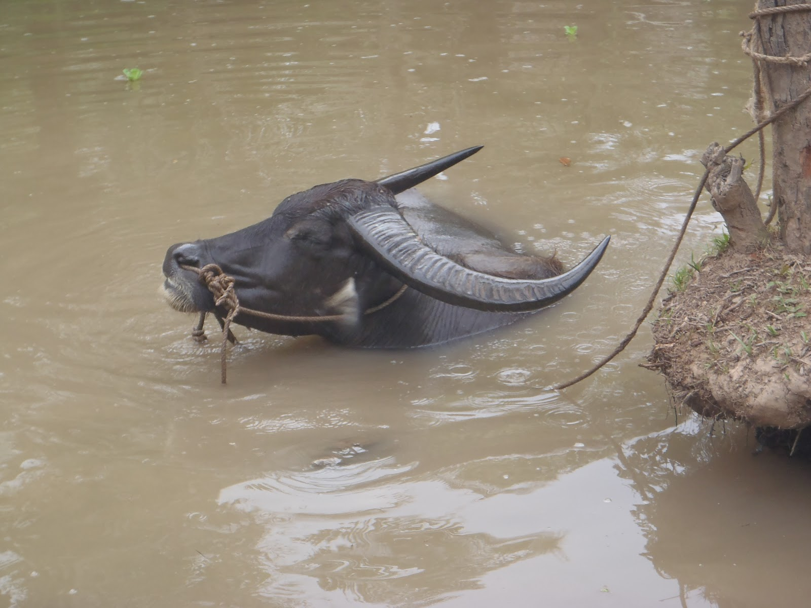 Vietnam by Tiger Cam: Water Buffalo (and other domestic animals)