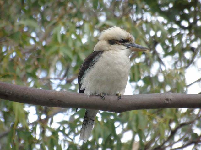 kookaburra Australia