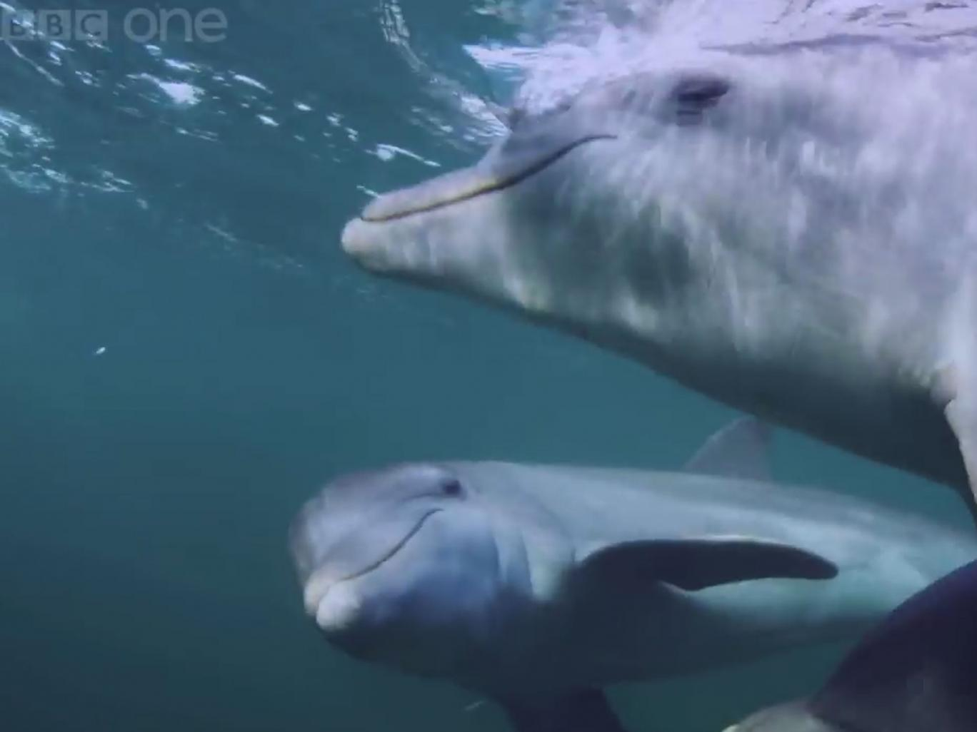 Dolphins get high by chewing on pufferfish and passing them around