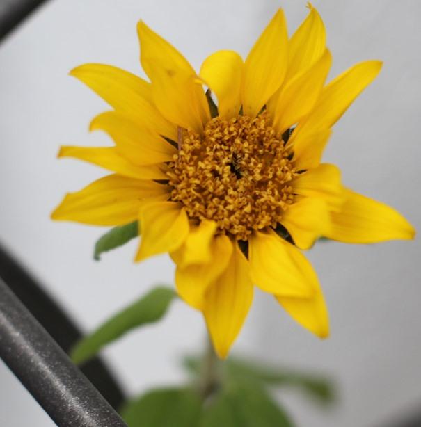 sonnenblume-im-november