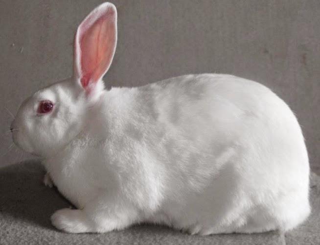 conejo blanco de nueva zelanda