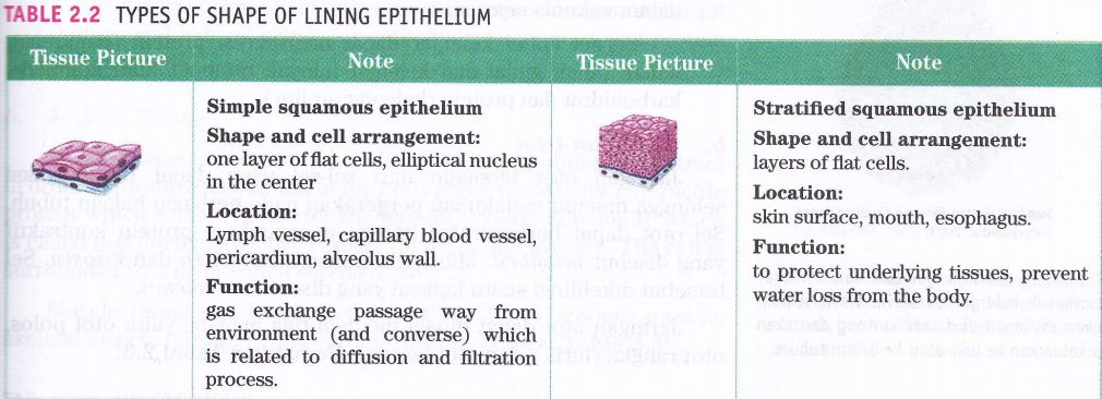 function of epithelial tissue 2 epithelial tissues locations body coverings body linings glandular tissue functions protection absorption filtration / excretion secretion list some body linings & discuss their function - ex: skin, stomach, lungs, mouth, esophagus, intestines, arteries, trachea.