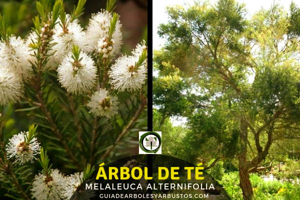 El Árbol de Té o Melaleuca alternifolia es originario de Australia y conocido por sus propiedades