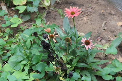 holdout coneflowers and seed heads