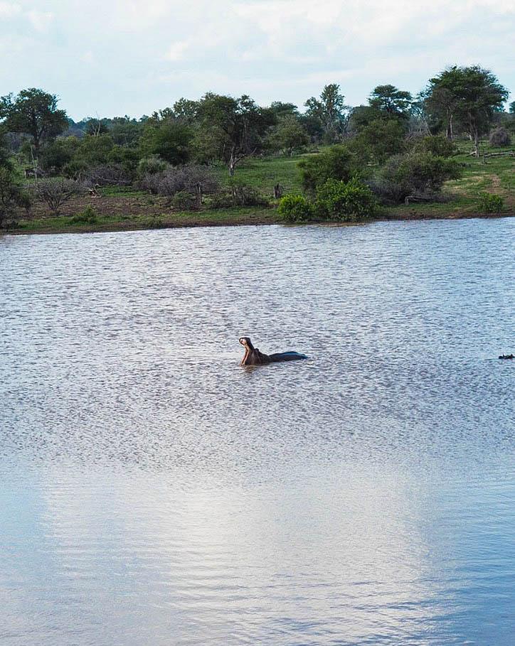 Hippos in Kruger Park
