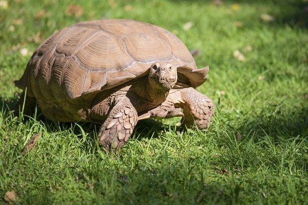 grey-tortoise-in-hindi