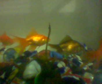 Gold Fish In Feng Shui