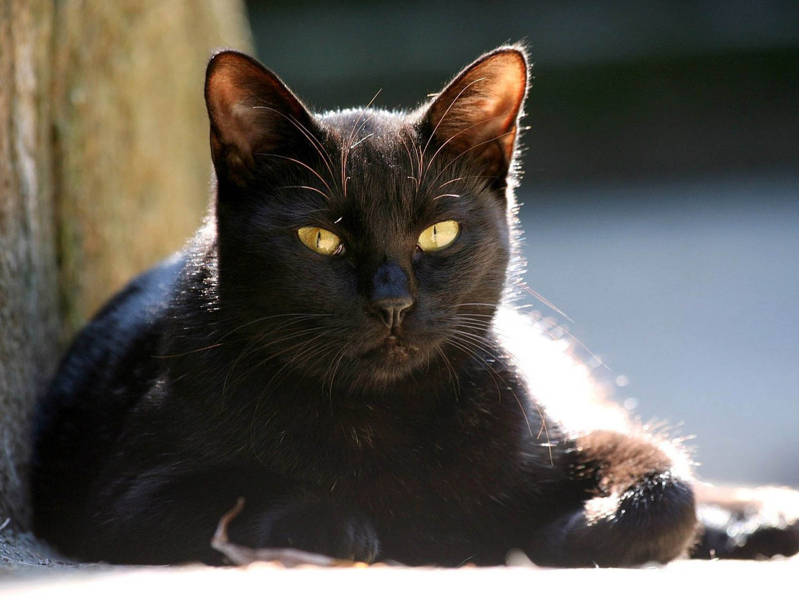 Cat Cat Wallpapers Yellow Eyes Cat Wallpapers