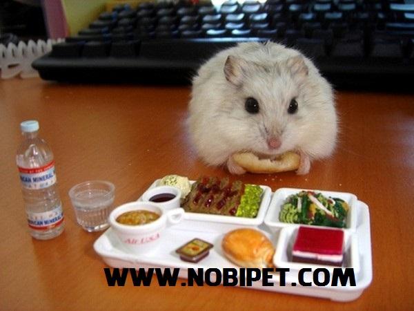 ban-thuc-an-dinh-duong-cho-chuot-hamster-gia-re