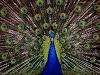 About Peacock In Telugu Information నెమలి ఆసక్తికరమైన విషయాలు
