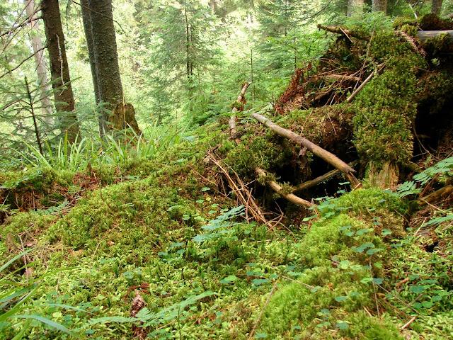 Мох в лесу на склоне хребта Чортка