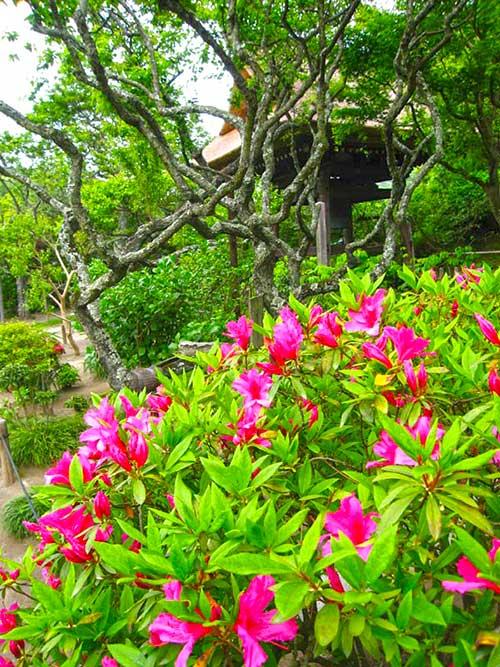 Azaleas in Kamakura, Kanagawa Prefecture.