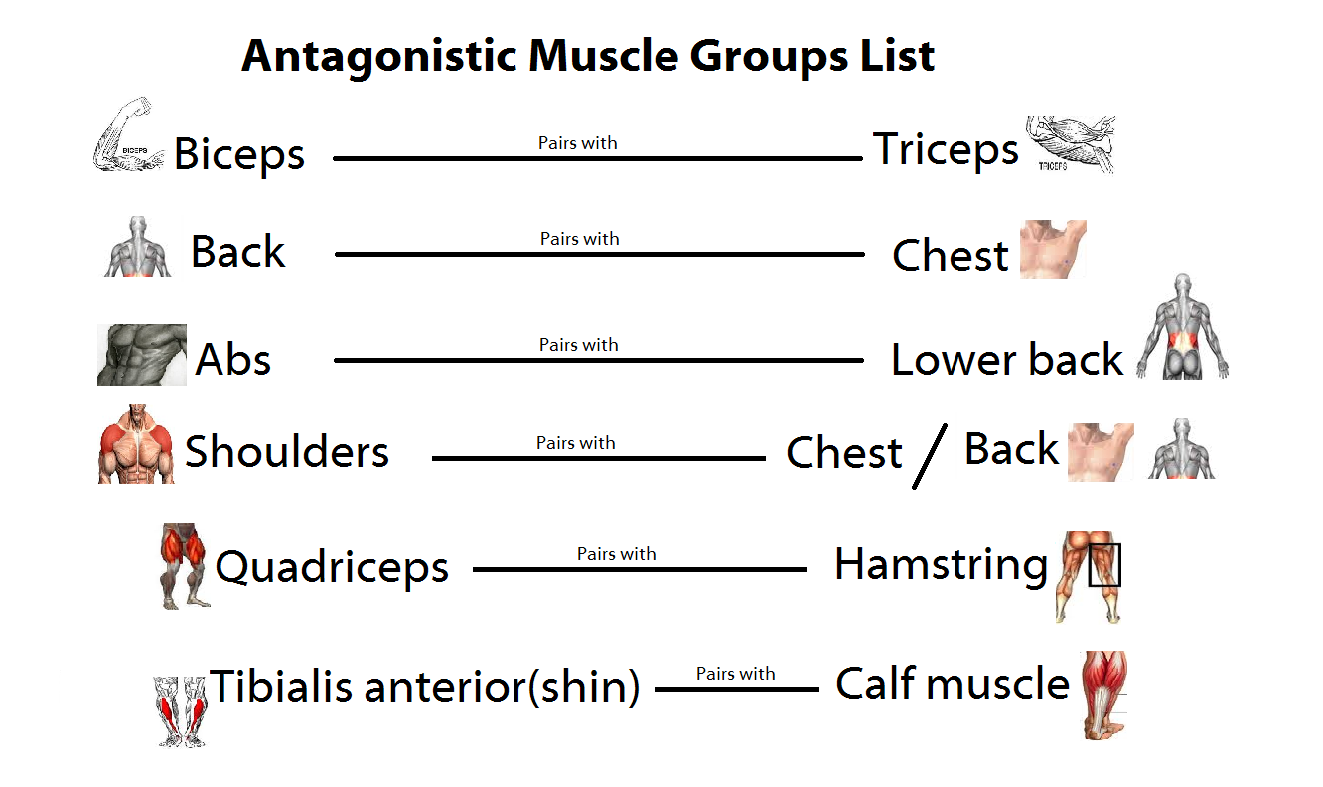 agonist antagonist relationship muscles in back