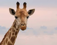 Amazing Facts About Giraffe in Hindi