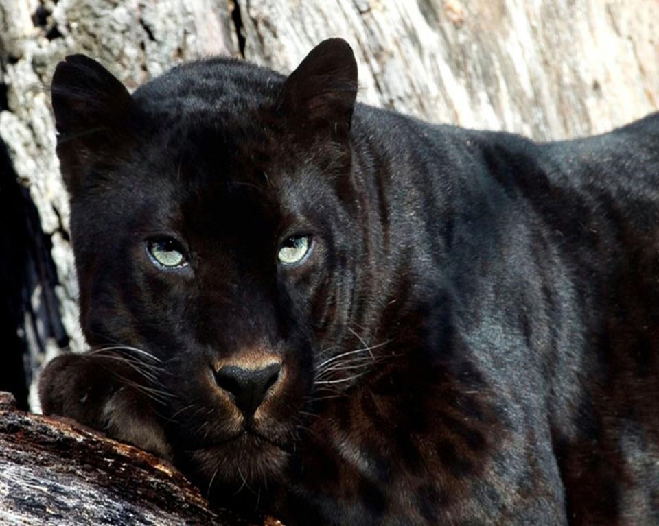 Pantera Negra: Fotografias De Panteras Negras