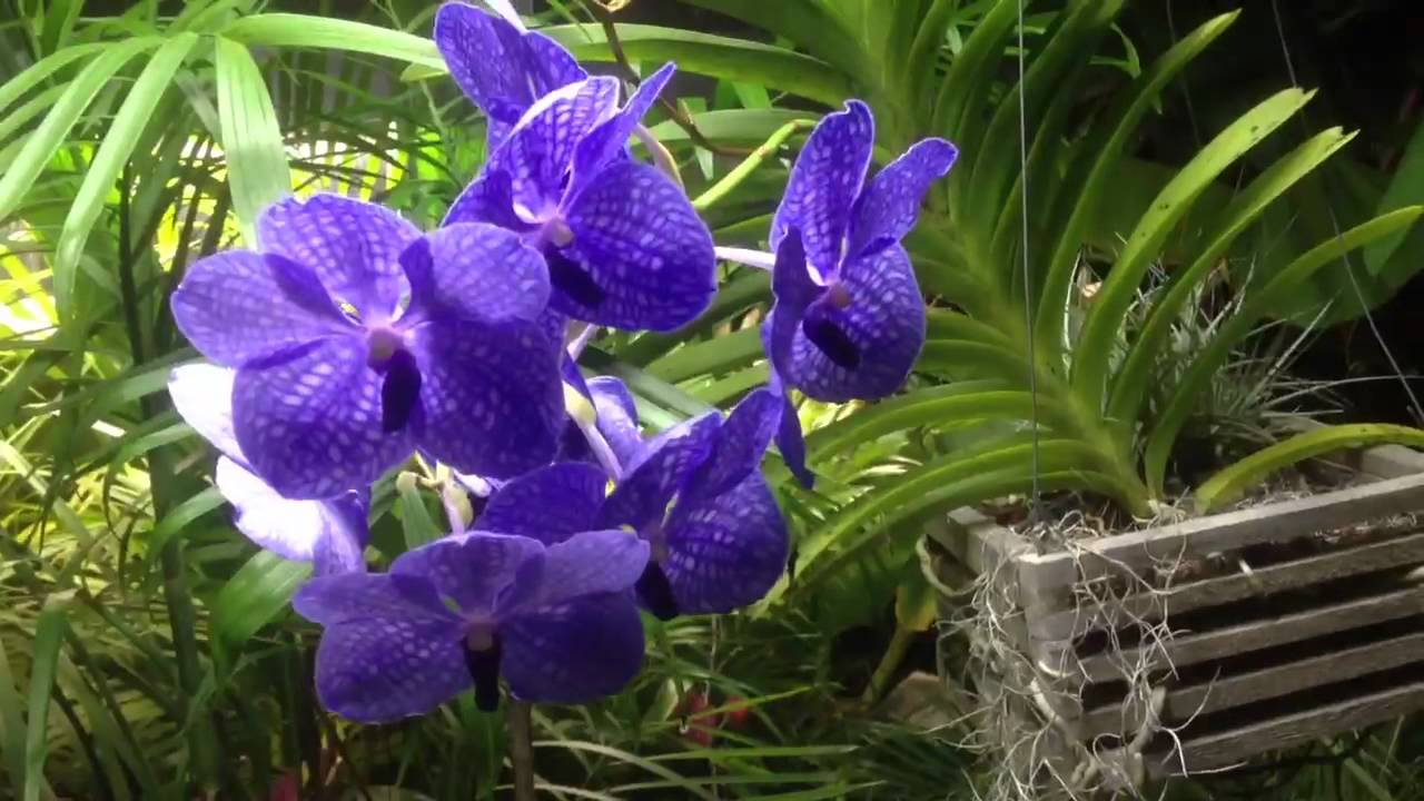 Vanda Orchid Is A Type Of Plants Having Almost 50 Species It Among One The Most Loved And Por Orchids Because Are