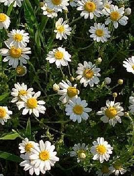 Camomile medicinal plant