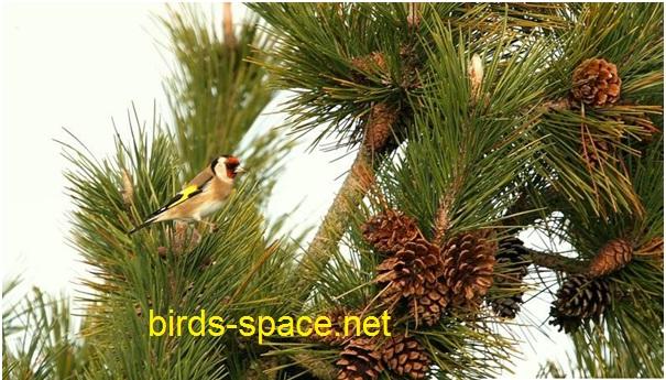 حبوب الصنبور و فوائدها لطائر الحسون