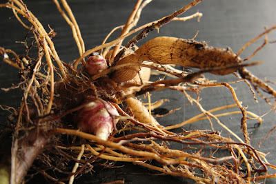 Perennial Yacon - plant once harvest forever