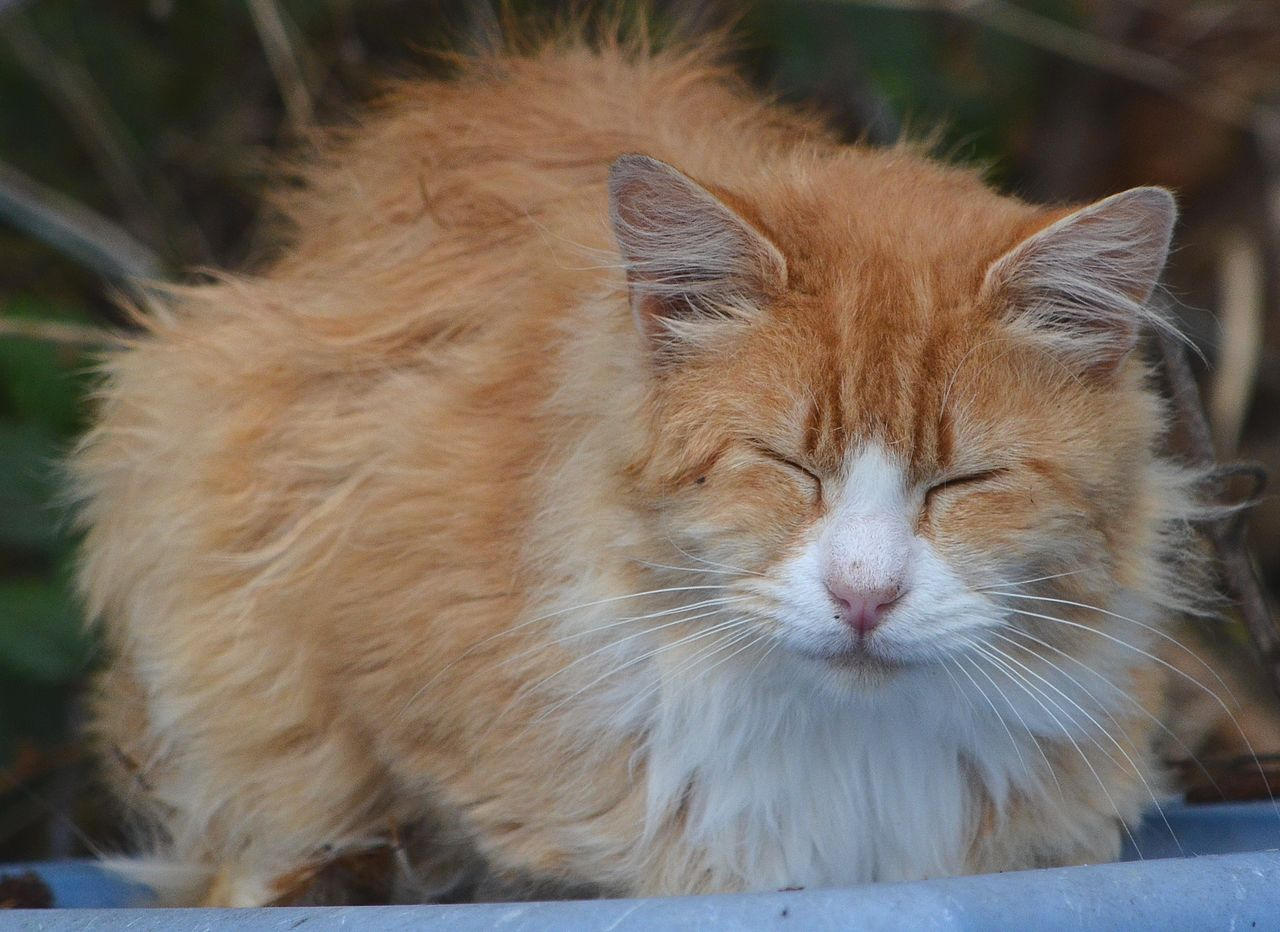Fluffy Orange And White Tabby Cat | www.pixshark.com ...