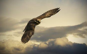 Wallpaper: Flying Hawk