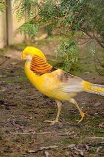 c2b15f3c4a8631559adb7ad348a5cc18 Foto Yellow Pheasant Terbaru Jual Ayam Hias HP : 08564 77 23 888   BERKUALITAS DAN TERPERCAYA Foto Yellow Pheasant Terbaru Galeri Foto Yellow Pheasant Terbaru
