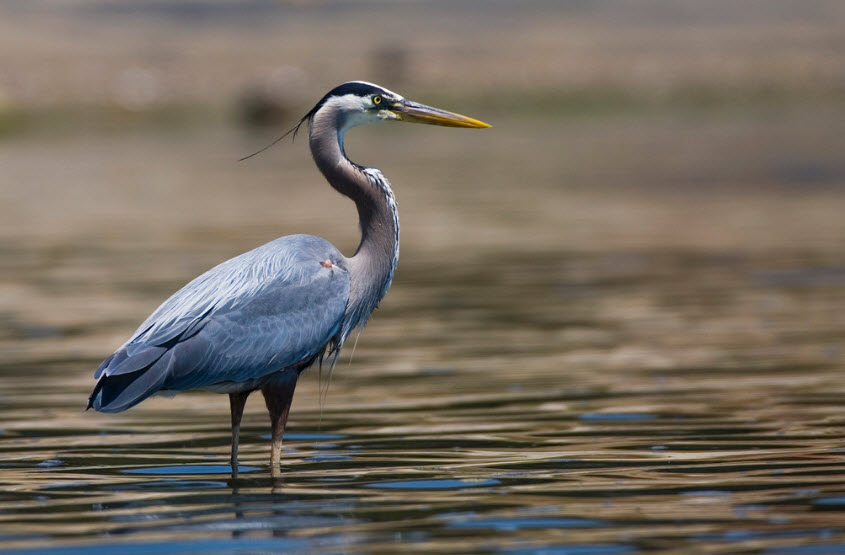 The Great Blue Heron 84
