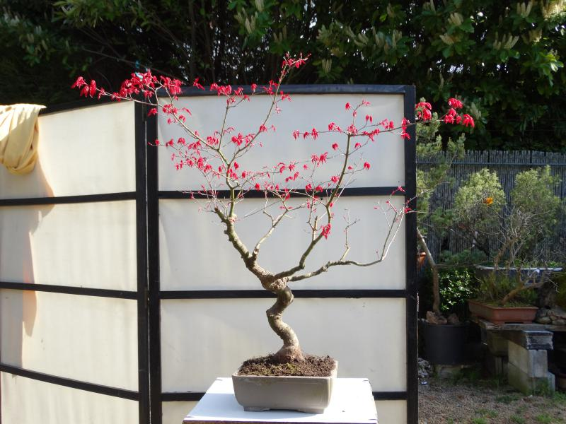 Todo lo que te atreviste a preguntar sobre un bonsai - Como se cuida un bonsai ...