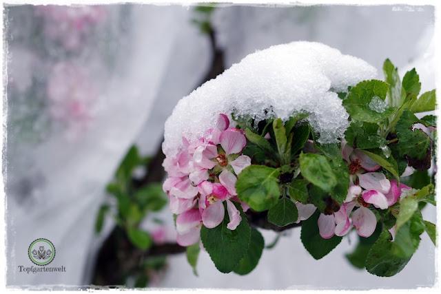 Gartenblog Topfgartenwelt Buchtipp Buchvorstellung Buchrezension: Gartenpraxis im Klimawandel von Lars Weigelt, Apfelblüten im Schnee Ende April