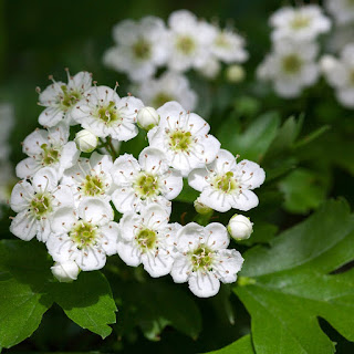 close up of small bunches of white flowers on a woody stem of the hawthorn tree or bush.