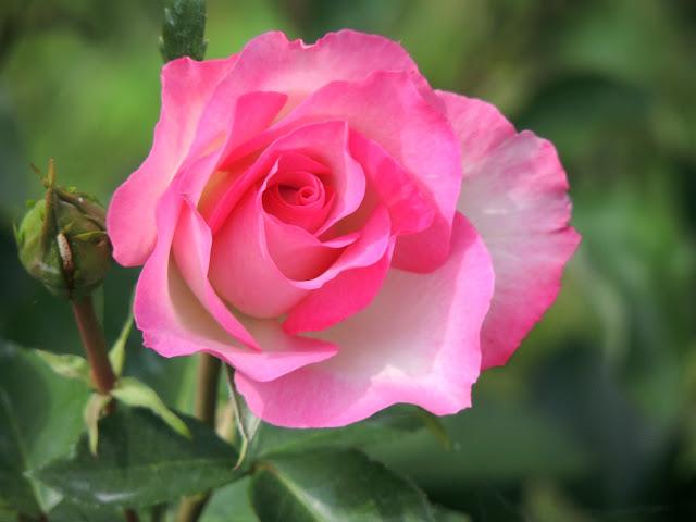睡蓮の花の写真