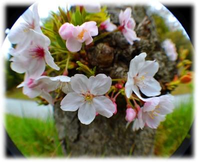淡路島公園 桜