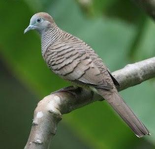 Mengenal Lebih Dekat Ciri Ciri Dari Burung Perkutut Majapahit