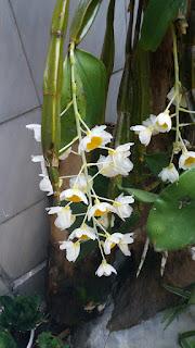 Hoa lan thủy tiên