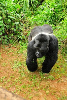 MOUNTAIN GORILLA TREKKING TERMS AND CONDITIONS- UGANDA GORILLA TOURS