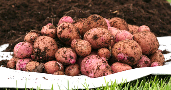 a bunch of dirty garden potatoes