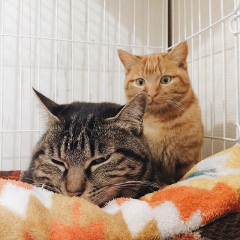 キジトラ猫と茶トラ猫