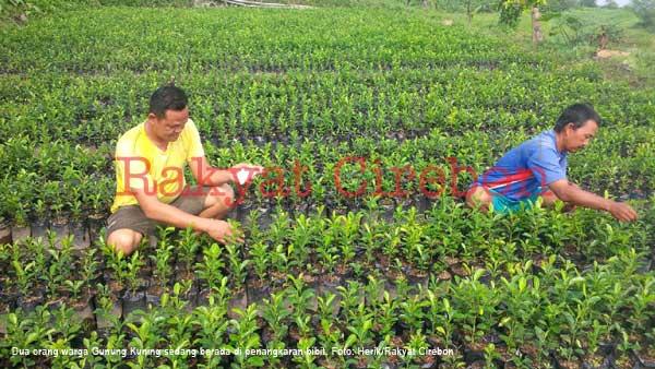 bibit tanaman jeruk tersedia di gubung kuning majalengka
