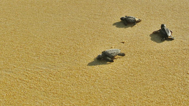 Tartarugas no caminho pro mar de Itaúnas, no Espírito Santo.