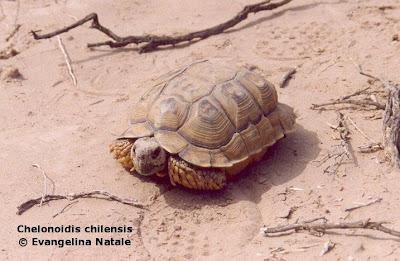 Tortuga terrestre común Chelonoidis chilensis