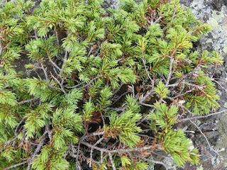 Genévrier commun - Genièvre - Juniperus communis